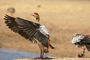 Egyptian Goose (Alopochen aegyptiaca) Photographed in Israel in January