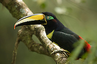 Many-banded Aracari (Pteroglossus pluricinctus) in the rain forest canopy at the Tiputini Biodiversity Station, Ecuador.