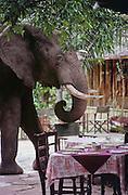 Where does an elephant sit when he comes to dinner? Mara River Camp, Masai Mara Reserve, Kenya.