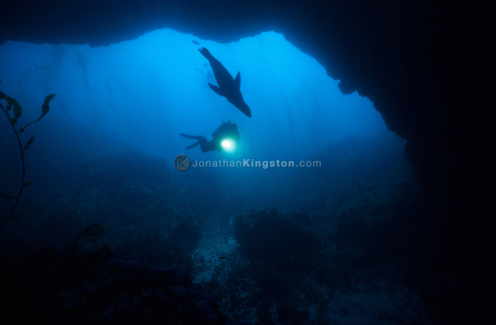 """CHANNEL ISLANDS NATIONAL PARK, CA:  Ralph Clevenger explores an underwater arch while SCUBA diving and swimming with a California Sea Lion """"Zalophus Californianus"""" in the Channel Islands National Park, California. (Model Released)"""