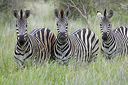 July 6, 2015 - Common Zebras, Kruger National Park, South Africa  (Credit Image: © Tuns/DPA/ZUMA Wire)