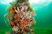 The pilings of the Port Hughes, South Australia, jetty are covered and encrusted with a wide variety of temperate and cold-water sponges and corals.