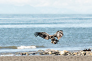 A juvenile bald eagle lands on the beach at Anchor Point, Alaska.