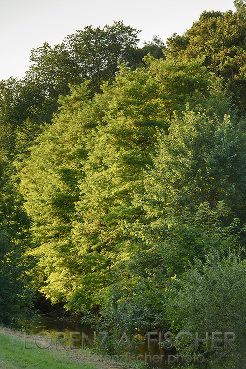 Warm sunlight on an alluvial forest along the River Murg at the Allmend of Frauenfeld on a nice and sunny summer evening, Thurgau, Switzerland