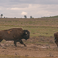 American bison (Bison bison) run across the prairie  on the American Prairie Reserve in Phillips County, Montana.