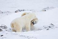 01874-11416 Polar Bears (Ursus maritimus) sparring, Churchill Wildlife Management Area MB