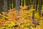 Yellow leaved autumn Vine Maple (Acer circinatum) and Red Osier Dogwood (Cornus sericea) understory in a Douglas Fir (Pseudotsuga menziesii) forest, Gifford Pinchot National Forest, WA, USA.