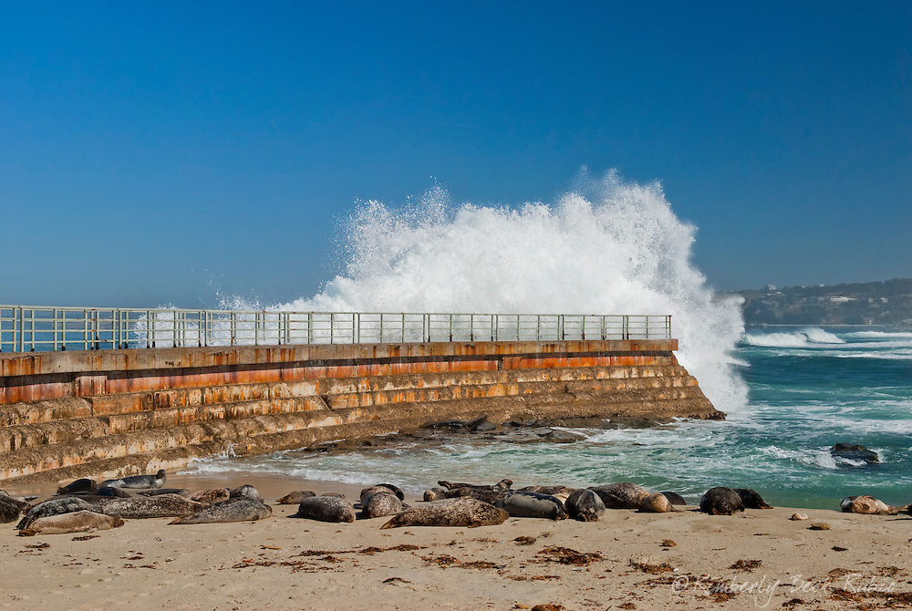 Wave crashing over the sea wall at high tide, La Jolla Children's Cove, San Diego, California, with harbor seals in the foreground.