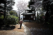 TOKYO, JAPAN, 10 APRIL  - Oimachi - A old woman go to pray in a smal temple under cherry blossom - Sakura -April 2012