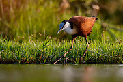 African Jacana (Actophilornis africanus) from Zimanga, South Africa.
