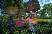 Tea Pickers<br /> Assam<br /> North East India