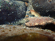 Shorthead Sculpin<br />