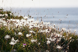 Mountain Avens seedheads growing on the coast at The Burren. White dryas. Dryas octopetala