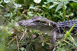 04 June 2015. Jean Lafitte National Historic Park, Louisiana.<br /> An alligator camouflaged in the swamp at the Barataria Preserve wetlands south of New Orleans.<br /> Photo©; Charlie Varley/varleypix.com