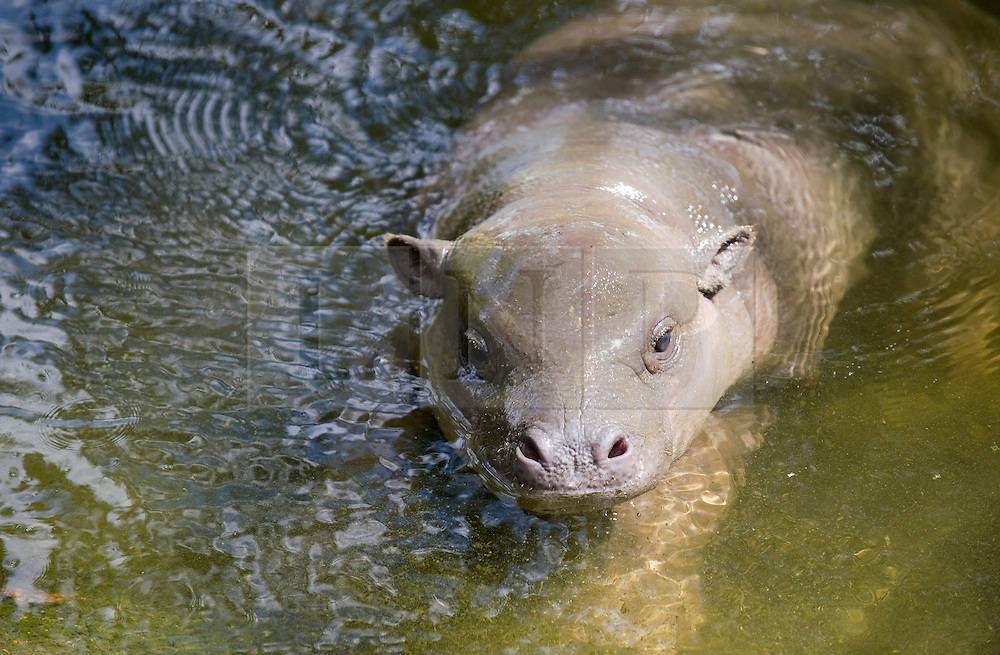 © licensed to London News Pictures. Braintree, UK. 07/06/2011. Sapo the pygmy hippo takes his first dip in his outdoor pool at Whipsnade Zoo in Dunstable, Bedfordshire today (07/06/2011). The three month old calf is important for the conservation of this species worldwide. Photo credit should read Ben Cawthra/LNP