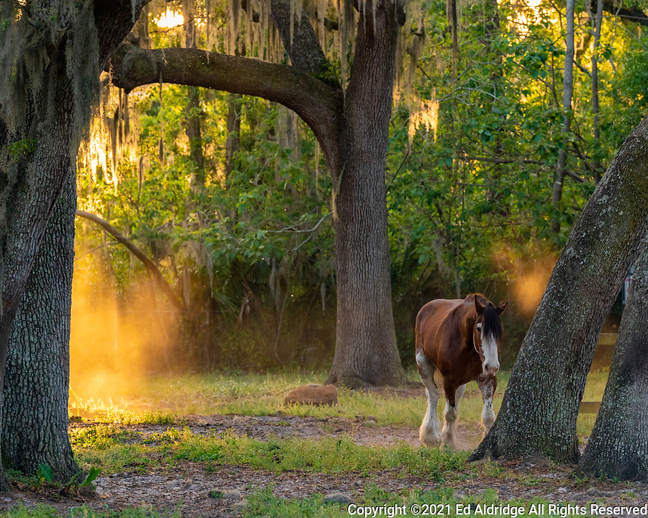 Horse in pasture with live oaks and Spanish moss at sunset in Ocala, Florida. Image taken by Ed Aldridge with a NIKON Z 6_2 and NIKKOR Z 70-200mm f/2.8 VR S at 200mm, ISO 1800, f5.6, 1/500.