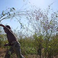 Mohammad Shafiq, age 14, harvests tour dal...Photo: Tom Pietrasik.January 2011.Maharashtra, India