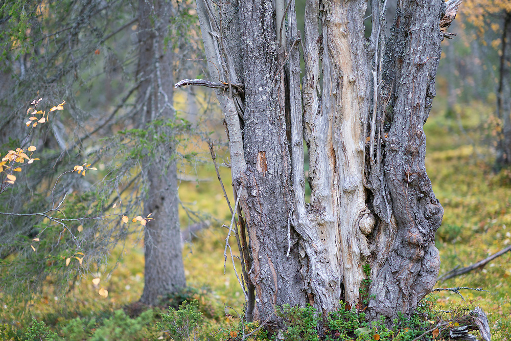 Old Salix or Goat willow tree in the pine forest, Muddus National Park, Laponia Unesco World Heritage Site, Norrbotten, Lapland, Sweden