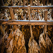 Tobacco leaves being dried in a farm shed
