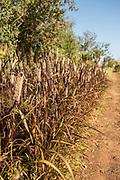 Purple Majesty Millet
