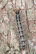 European Gypsy Moth Caterpillar, Lymantria dispar dispar, Romania, classified as a pest, its larvae consume the leaves of over 500 species of trees, shrubs and plants