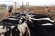 2 mongolian women milking goats