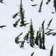 Bent over fir tree patterns in Glacier National Park.