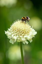 Bumblebee on Cephalaria gigantea - Giant scabious