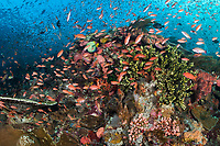 Clouds of Anthias swarm above the reef<br /> <br /> Shot in Indonesia