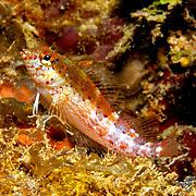 Saddle Blenny inhabit reefs, perch on bottom in Tropical West Atlantic; picture takenPanama near San Blas Islands.