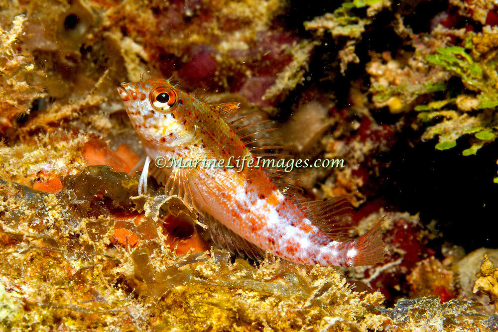 Saddle Blenny inhabit reefs, perch on bottom in Tropical West Atlantic; picture takenPanama near San Blas Islands.
