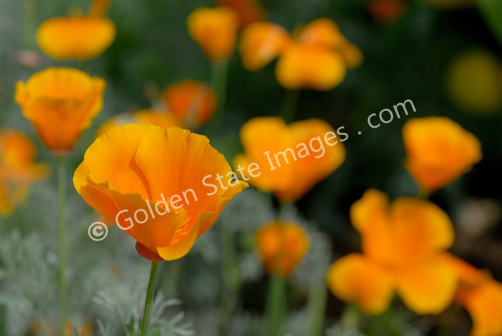 The Golden Poppy or California Poppy is official state flower of California. <br />   <br /> Upright compact annual extremely drought tolerant. <br /> <br /> Blooms April to August and although orange is the most recognized color, it can also bloom red, yellow and white.    <br /> <br /> Range: Native to California and South West United States    <br /> <br /> Species: Eschscholtzia californica