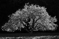 Blooming apple tree near Stowe, Vermont