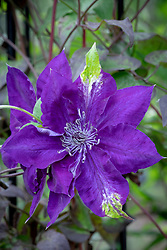 Clematis Amethyst Beauty = 'Evipo043'. Clematis petal turened green - possibly as a result of too much rain