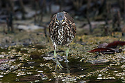Striated Heron (Butorides striatus) <br /> Tortuga Bay, Santa Cruz Island, GALAPAGOS ISLANDS<br /> ECUADOR.  South America<br /> Less common in the islands than the Lava heron.  Also a sit-and-wait predator that feeds on small crabs, invertebrates and fish.