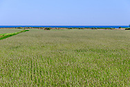 Wheat and Ocean. Wainscott, Hamptons, NY