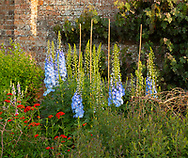 Delphinium and Silene chaledonica in the Herbaceous Border at Waterperry Gardens, Waterperry, Wheatley, Oxfordshire, UK