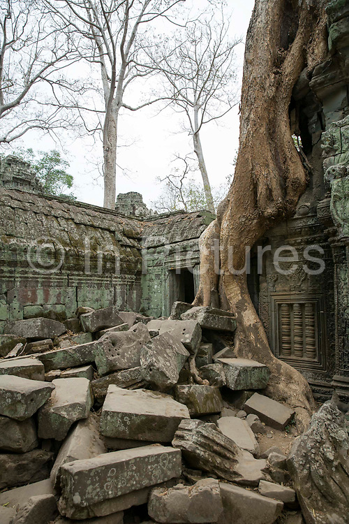 A silk-cotton tree, Ceiba pentandra, grows around an ancient ruin of the Ta Prohm temple, known as the jungle temple, in Angkor region Siem Reap Province, Cambodia, South East Asia.  The stone wall is decorated with beautiful stone carvings in Bayon style.