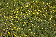 Buttercup, Ranunculus, yellow flowers growing in grass meadow, Suffolk, England