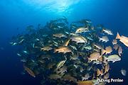 spawning aggregation of dog snappers, Lutjanus jocu, Gladden Spit & Silk Cayes Marine Reserve, off Placencia,  Belize, Central America ( Caribbean Sea )