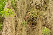 A bromeliad plant pokes through spanish moss (Tillandsia usneoides) in Everglades National Park, Florida,