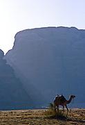 Camel tied to a bush in the desert - Wadi Rum, Jordan.