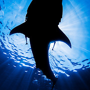 A whale shark (Rhincodon typus) blocks out the sun as he skims the surface of the ocean to feed on plankton.