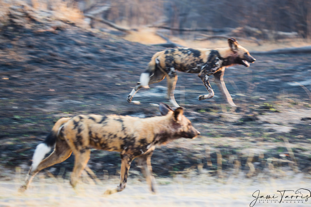 A motion blur of African Wild Dogs (Lycaon pictus) running through the bush on an early morning hunt, Moremi Game Reserve,Botswana, Africa