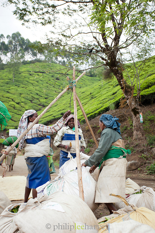 Tea picker's full bags of leaves are weighed in Munnar, a hill station in Kerala, India