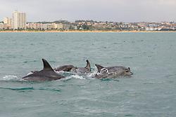 Tursiops truncatus, Grosser Tuemmler, Schule von Delfine, Common bottlenose dolphin, school of Dolphins, Porth Elizabeth, Suedafrika, Indischer Ocean, Algoa Bay, Porth Elizabeth, Südafrika, Suedafrika, Indischer Ocean