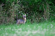 01867-00107 Gray Fox (Urocyon cinereoargenteus) female in field, Holmes Co, MS