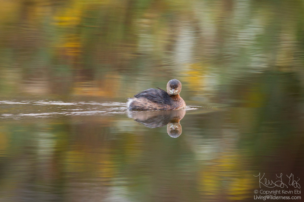 A Pied-Billed Grebe (Podilymbus podiceps) swims on a small pond off North Creek in Bothell, Washington..