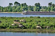 Nederland, Ooijpolder, 23-5-2020 Zicht op de Waal . Aan de overkant van de strang graast een kudde wilde paarden, konikpaarden, koniks . Binnenvaartschip vaart voorbij . Natuurbeheer in de  uiterwaarden, gelderse poort, millingerwaard . Foto: Flip Franssen