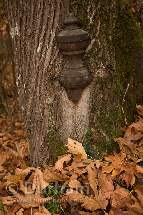 An old cemetery post is enclosed in the trunk of a maple tree after decades of growth.